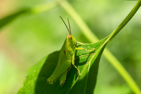 Macro Grasshopper inside a forest. on green background