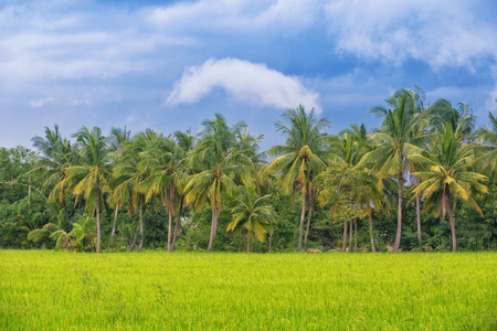 Paddy fields with coconut trees and blue sky in Thailand