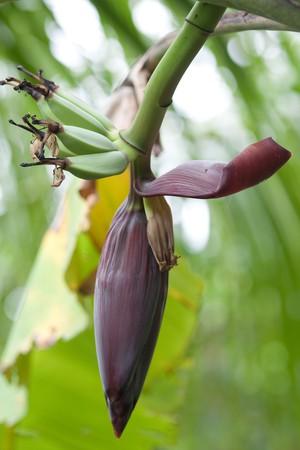 banana blossom on tree Stock Photo