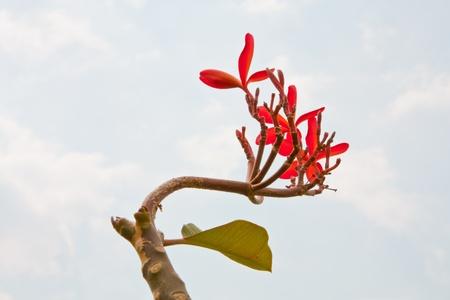 plumeria flower,flowers