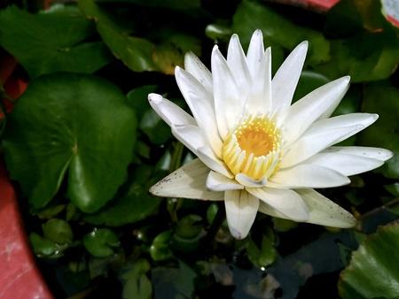 Beautiful lotus white