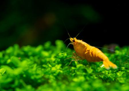 Sunkist orange yellow dwarf shrimp on green grass or aquatic moss