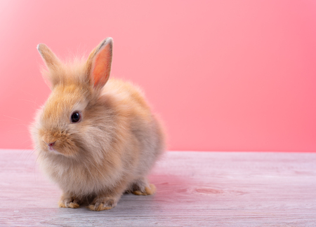 Small light brown rabbit look at camera and stay on gray wood table with pink background