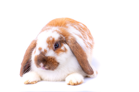 Little white and brown bunny rabbit on white background with isolated theme