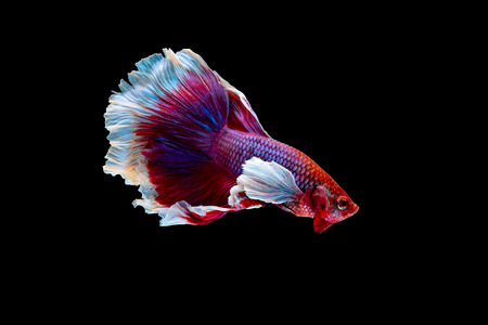 Colorful with main color of red and pink betta fish, Siamese fighting fish was isolated on black background. Fish also action of turn head in different direction during swim
