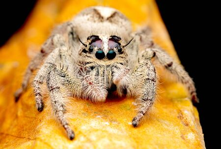 Wild female jumping spider with white and cream color look forward and stay on brown dry leaf and dark background.