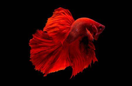 Pez betta rojo, pez luchador siamés fue aislado sobre fondo negro. Los peces también realizan la acción de girar la cabeza en diferentes direcciones durante la natación.