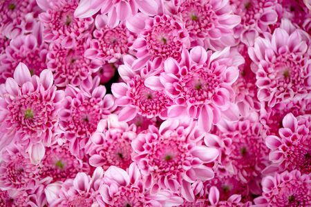 Bunch of pink chrysanthemum flowers or Thai name call Mam Chompoo. This image can be use as background of lots of pink flowers.