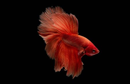 Light red betta fish, Siamese fighting fish was isolated on black background. Fish also action of turn head in different direction during swim.