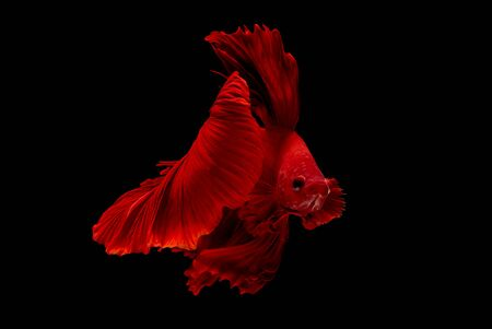 Red betta fish, Siamese fighting fish was isolated on black background. Fish also action of turn head in different direction during swim.