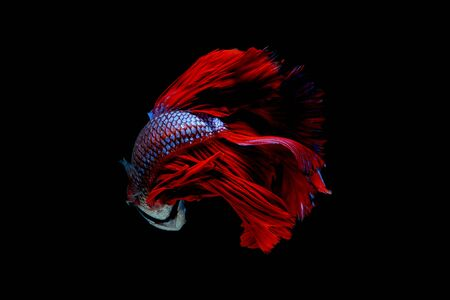 Colorful with main color of blue and red betta fish, Siamese fighting fish was isolated on black background. Fish also action of turn head to the back.