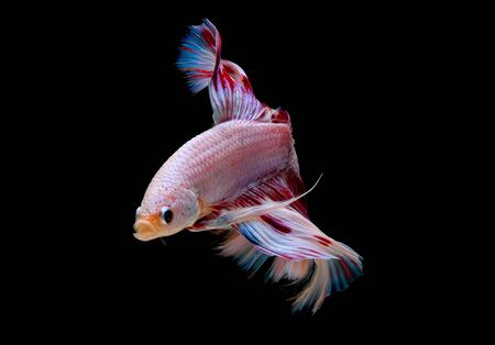 Colorful with main color of light pink, blue and red betta fish, Siamese fighting fish was isolated on black background and it has different action of swimming in freshwater aquarium.