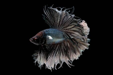 Colorful with main color of metal white and black betta fish, Siamese fighting fish was isolated on black background. Fish also action of turn head in different direction during swim. 版權商用圖片