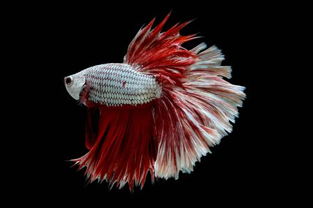 Colorful with main color of metallic white and red betta fish, Siamese fighting fish was isolated on black background.