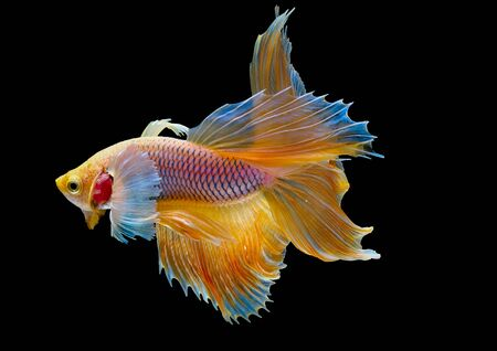 Isolated yellow Siamese fighting betta fish with different action of swim on dark background.