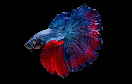 Colorful with main color of blue and red betta fish, Siamese fighting fish was isolated on black background. Fish also action of turn head in different direction during swim. Stock Photo