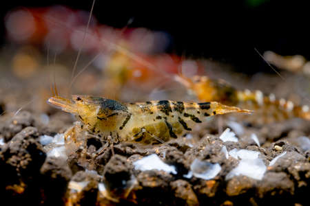Pregnant golden tiger dwarf shrimp look for food on aquatic soil and stay with other shrimps in fresh water aquarium tank.