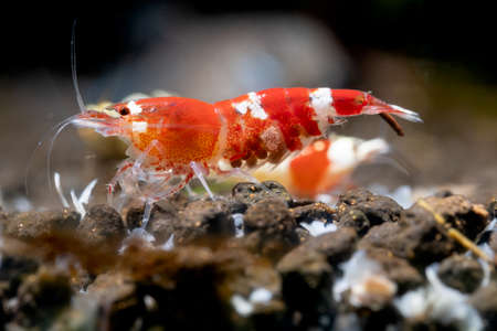 Pregnant crystal red dwarf shrimp look for food in aquatic soil and show eggs in stomach in freshwater aquarium tank.