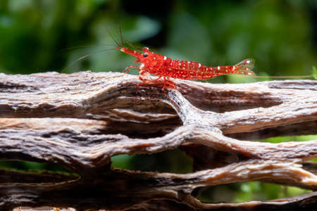 Red orchid sulawesi dwarf shrimp stay on timber in fresh water aquarium tank with green algae as background.