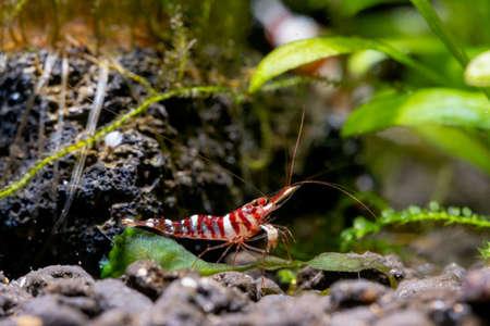 Tigri sulawesi dwarf shrimp stay near rock and aquatic plant also look for food in aquatic soil in freshwater aquarium tank. Stock fotó