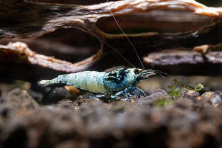 Blue bolt dwarf shrimp look for food on aquatic soil near timber in fresh water aquarium tank. Concept of little beautiful animals help relaxation for people.