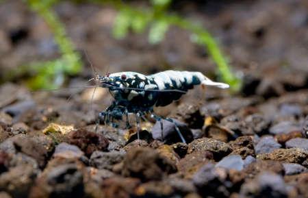 Black galaxy dwarf shrimp stay alone and look for food in aquatic soil in freshwater aquarium tank. Stock Photo