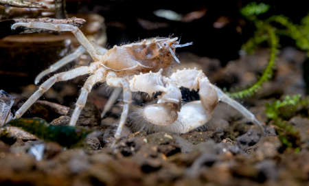 Spider dwarf crab or Thai micro crab stay near timber and look to right side in freshwater aquarium tank. Stock Photo
