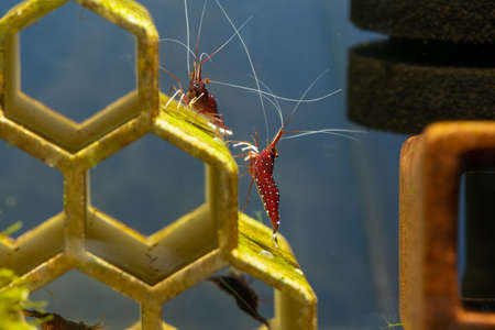 Two white spot sulawesi dwarf shrimps eat lichen or algae as food on aqua decoration of fresh water aquarium tank.