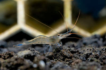 Isolated blue leg sulawesi dwarf shrimp look for food in lava stone and stay in front of shrimp decoration in aquarium tank.
