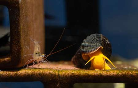 Blue leg sulawesi dwarf shrimp and orange yellow sulawesi snail or shellfish look for food on shrimp decoration in fresh water aquarium tank. Stock Photo