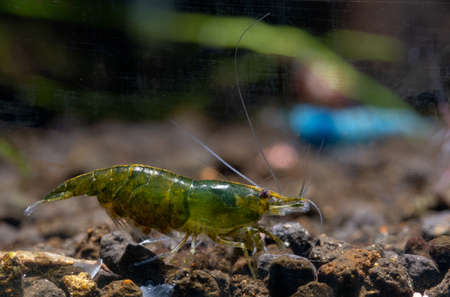 Green emerald dwarf shrimp with eggs in stomatch look for food in aquatic soil with other shrimps and decoration as background.