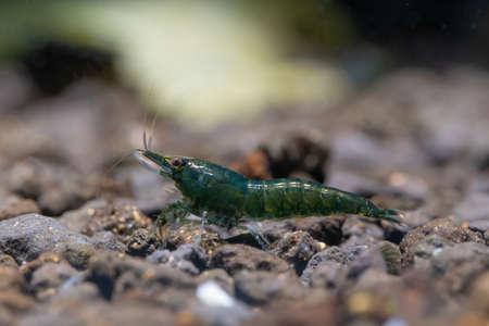 Small green emerald dwarf shrimp with dark green of body look for food in aquatic soil in fresh water aquarium tank.