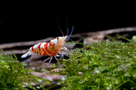 Red fancy tiger dwarf shrimp stay and look for food on moss in freshwater aquarium tank. Stock Photo