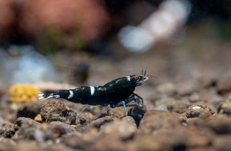 King kong panda dwarf shrimp look for food and stay in front of other shrimp in freshwater aquarium tank.