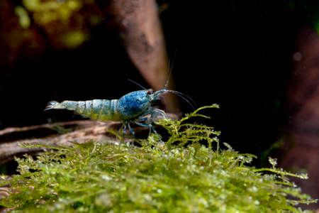 Blue bolt dwarf shrimp stay alone on aquatic moss with dark background in freshwater aquarium tank. Stock Photo
