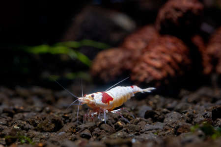 Red bee dwarf shrimp stay alone and look for food in aquatic soil with pine cones and plants as background in fresh water aquarium tank.