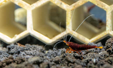 Yellow nose sulawesi dwarf shrimp look for food in lava stone in front of decoration in fresh water aquarium tank. Stock Photo