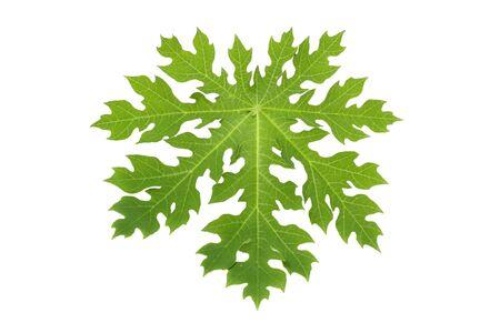 papaya tree: Papaya leaf