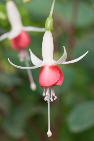 fuchsia flower: Fuchsia Flowers Stock Photo
