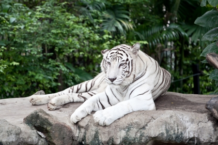 Tigre Blanco Foto de archivo - 20323832