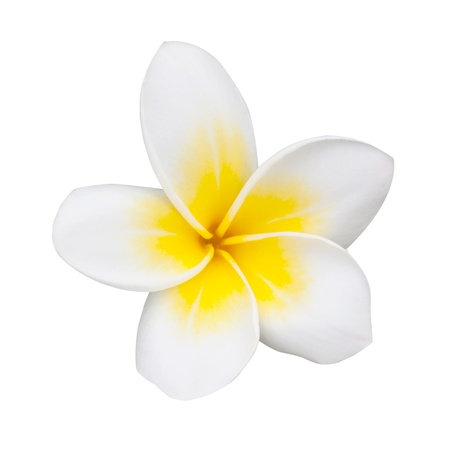 frangipani or plumeria flower isolated on white photo