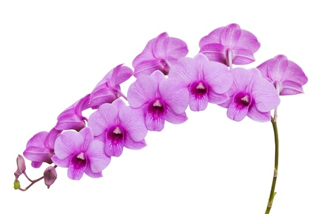 Pink Orchid Flowers isolated on white photo