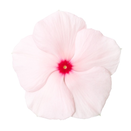 Periwinkle flower isolated over white background  photo