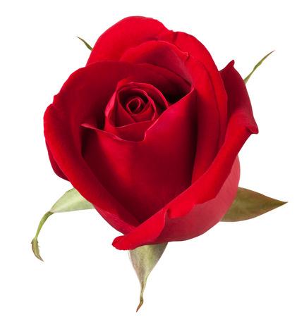 빨간 장미는 흰색 배경에 고립