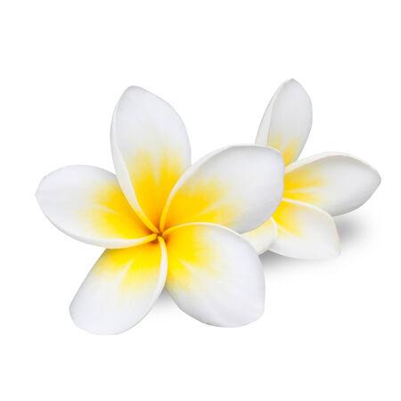 Frangipani or Plumeria Flower Isolated on White Background  photo