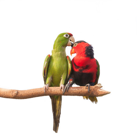 two parrots: Colorful Couple Macaws sitting on Branch