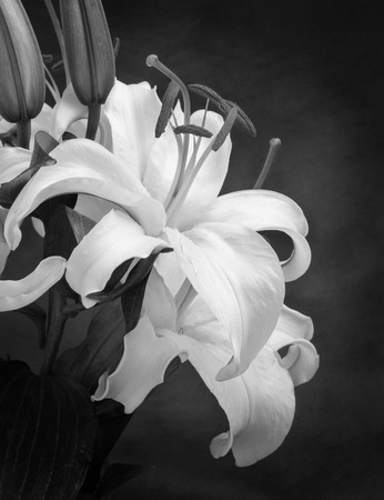 Beautiful Lily Flower in Black and White photo