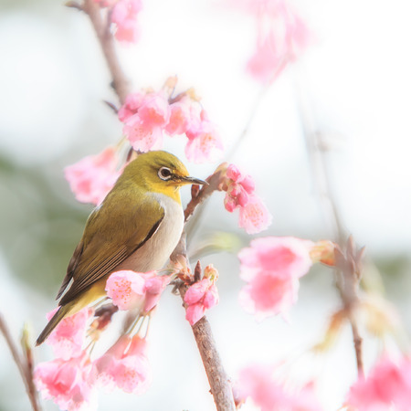white-eye Bird on Cherry Blossom and sakura flower photo