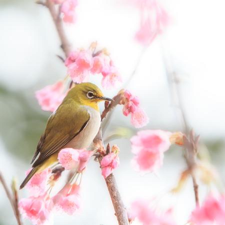 white-eye Bird on Cherry Blossom and sakura flower photo