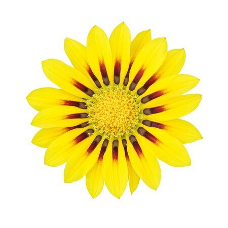 Yellow Gazania flower isolated on white background photo